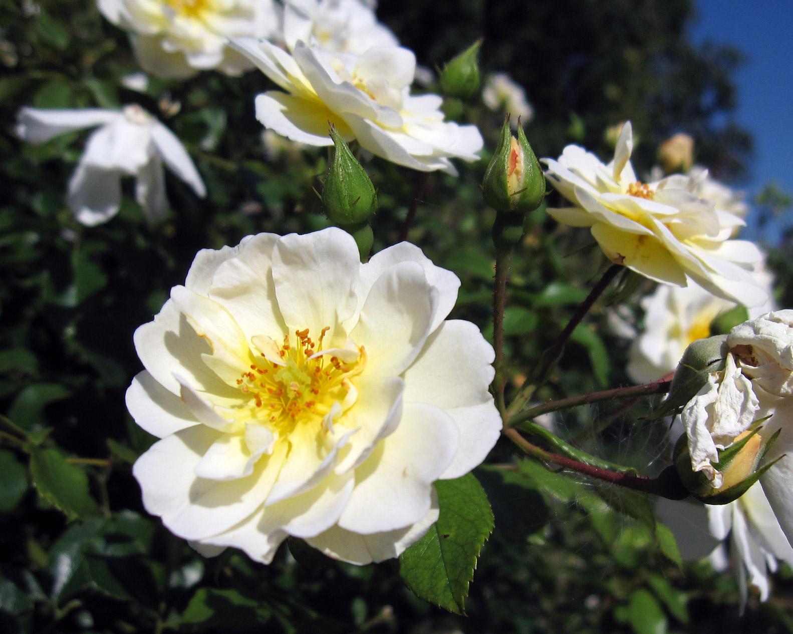 roses roseraie
